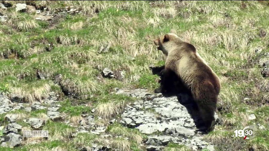Ein Bärn im Bild der die Berge hochklettert.