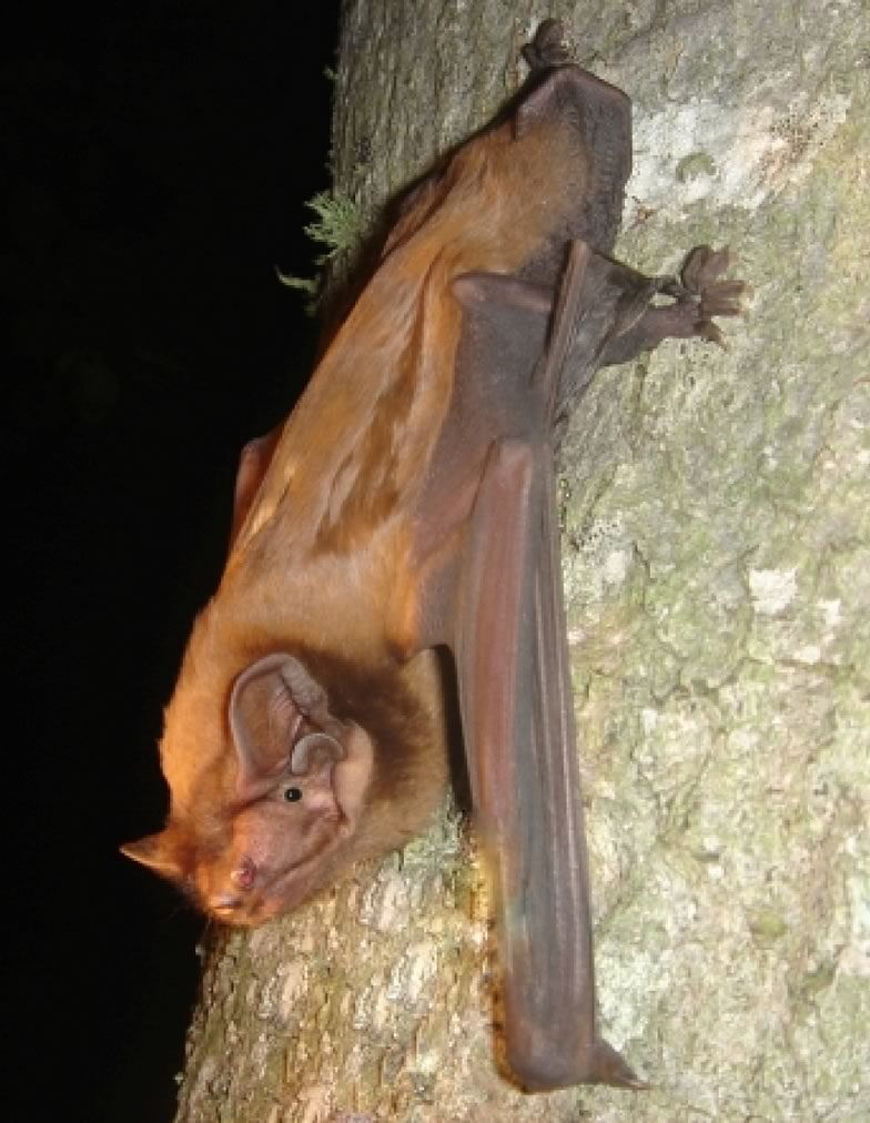 Here is a pictures from Giant noctule bat