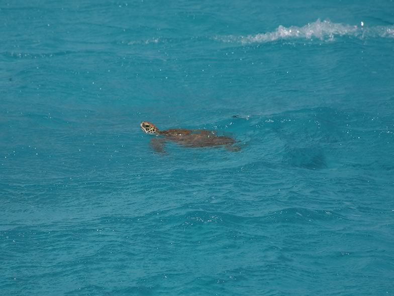 Here ist a picture from a Loggerhead sea turtle
