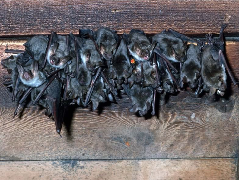 Here is a picture from a series of Mouse-eared bats