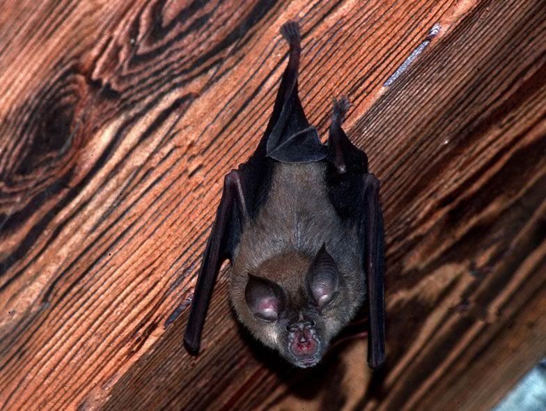 Here is a pictures from a Greater horseshoe bat
