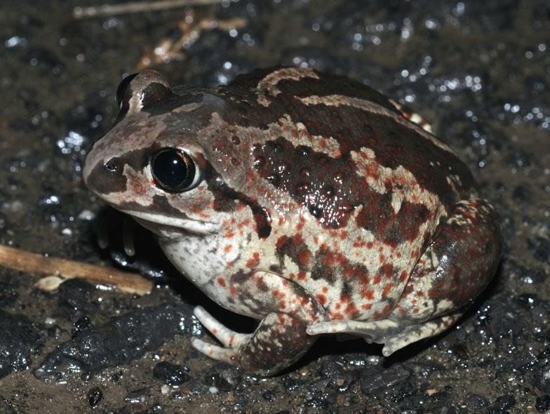 Here is a picture from a Spadefoot toad