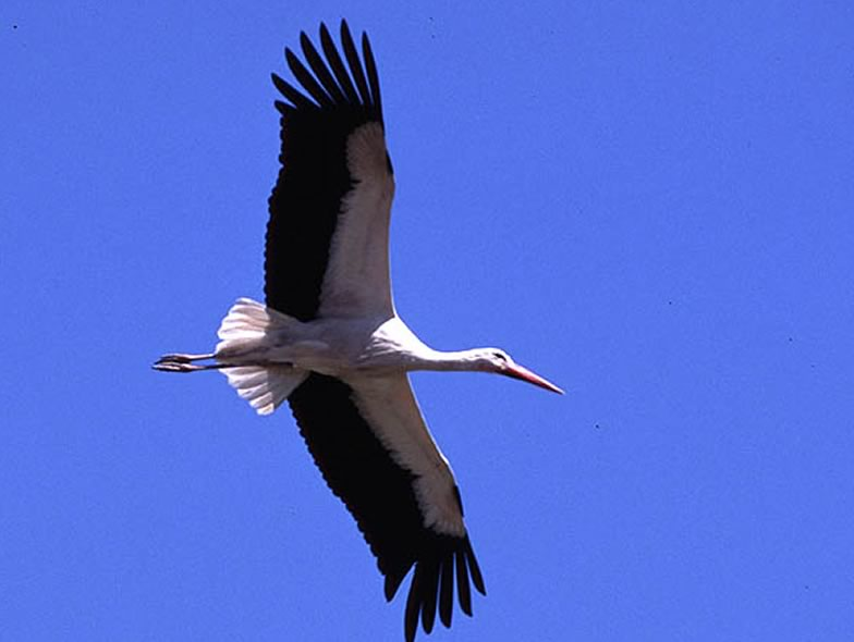 Here is a picture from a White stork