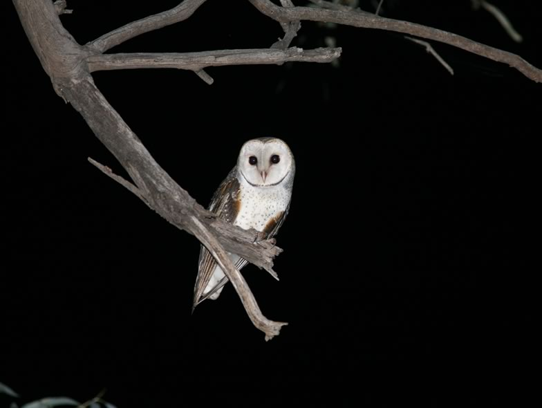 Here is a picture from a Barn owl