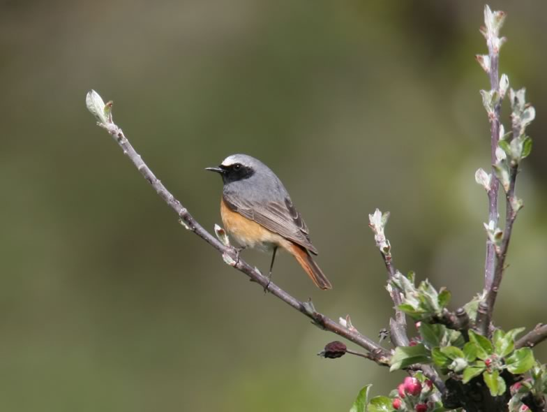 Here is a picture from a Common redstart
