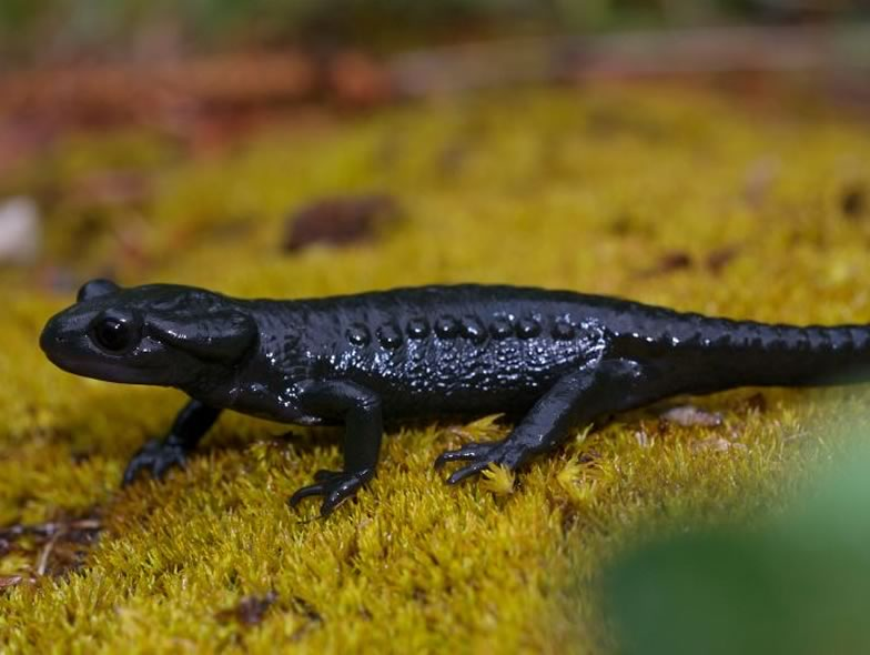 Here is a picture from a Alpine salamander