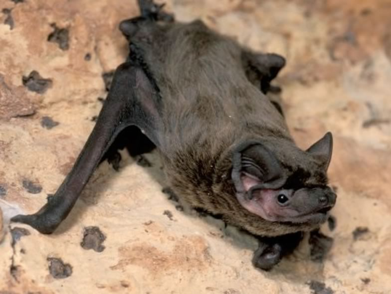 Here is a pciture from a Leisler's bat