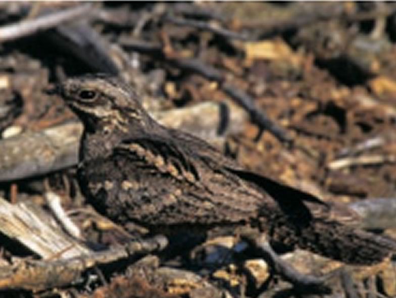Here is a picture from a Nightjar