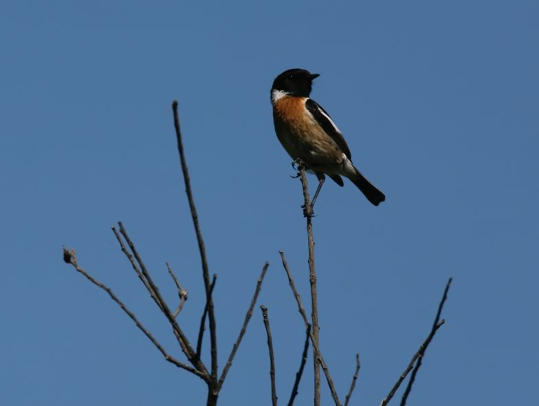 Here is a picture from a Stonechat