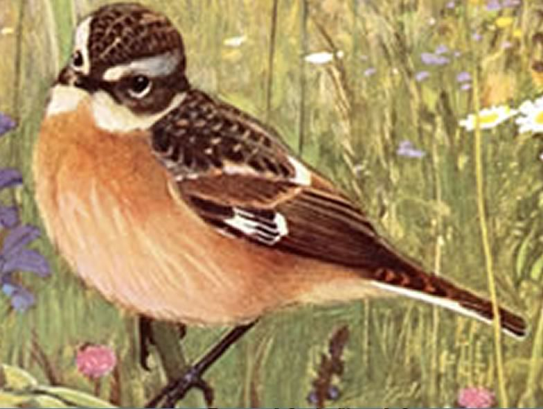 Here is a picture from a Whinchat
