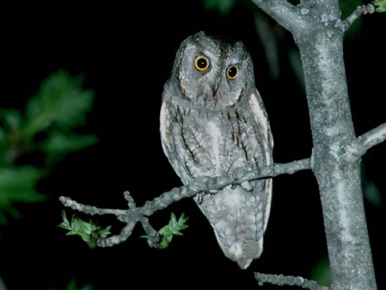 Here is a picture from a Scops owl