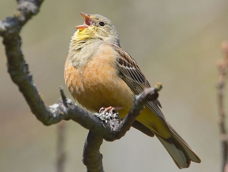 Here is a picture of Ortolan bunting
