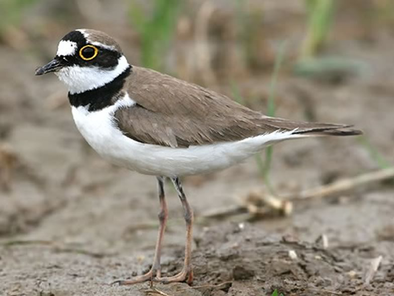 Here is a picture from a Little ringed plover