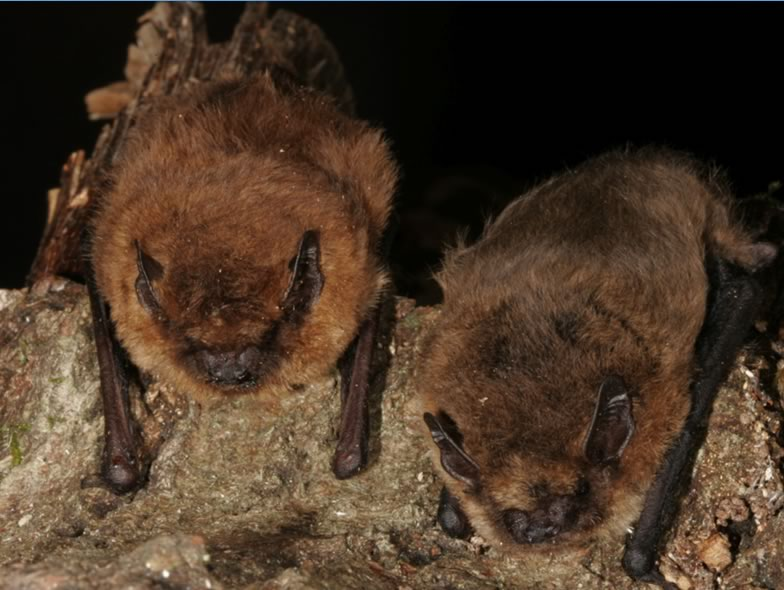Here is a picture of two Pipistrellus pygmaeus